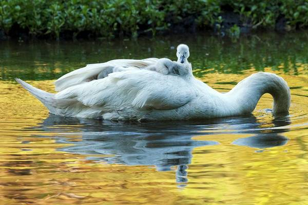Parental Care Photograph - Mute Swan And Cygnets by Alex Hyde