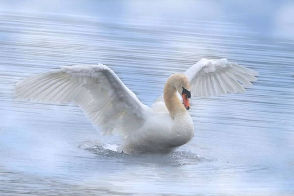 Mute Swan Photograph - Mute Swan by Angie Vogel