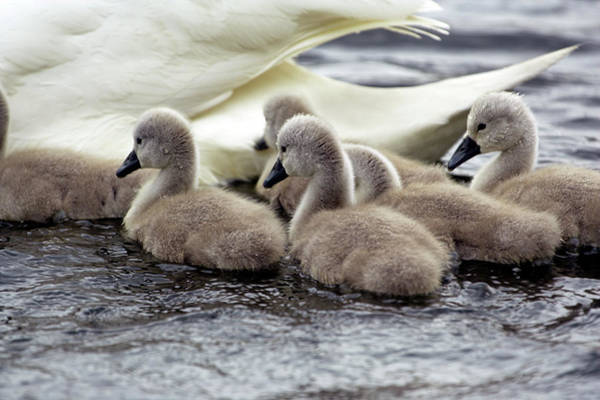 Cygnus Photograph - Mute Swan Cygnets by Simon Booth/science Photo Library
