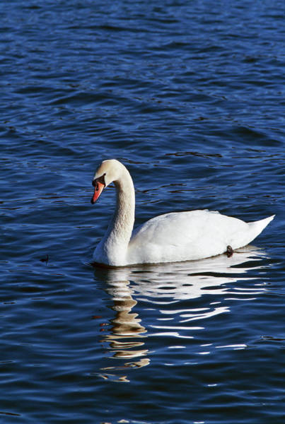 Swan Neck Photograph - Mute Swan Cygnus Olor Swimming by Animal Images