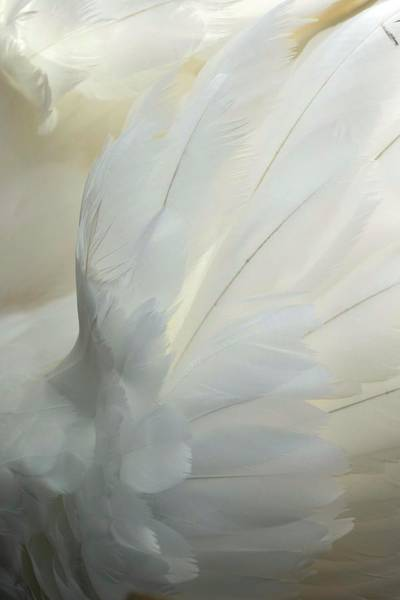 Cygnus Photograph - Mute Swan Feathers by Simon Booth/science Photo Library