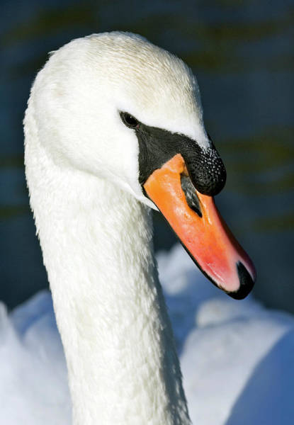 Cygnus Photograph - Mute Swan by John Devries/science Photo Library