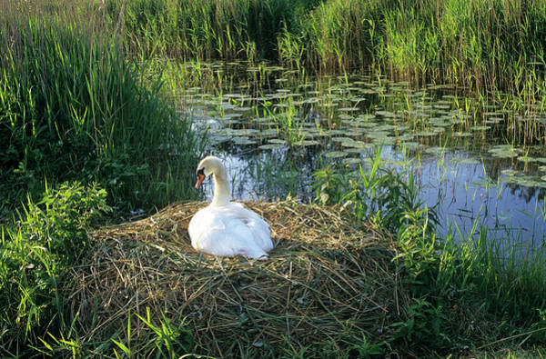 Cygnus Photograph - Mute Swan On A Nest by Duncan Shaw/science Photo Library