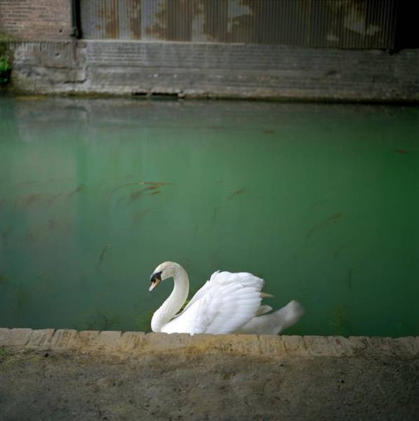 Cygnus Photograph - Mute Swan On A Polluted Canal by Robert Brook/science Photo Library