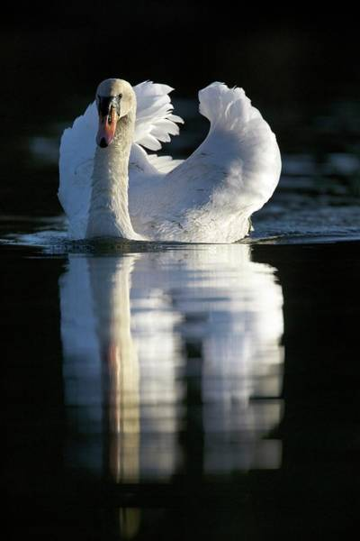 Mute Swan Photograph - Mute Swan On Water by Simon Booth