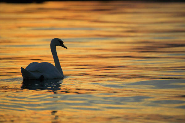 Cygnus Photograph - Mute Swan by Simon Booth/science Photo Library
