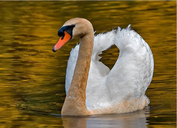 Photograph - Mute Swan by Susan Candelario