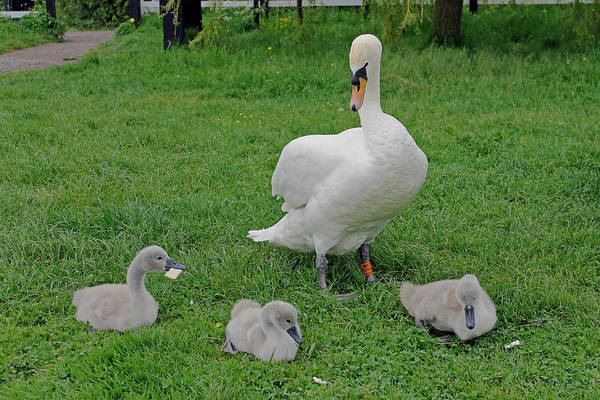 Photograph - Mute Swan With Cygnets by Tony Murtagh