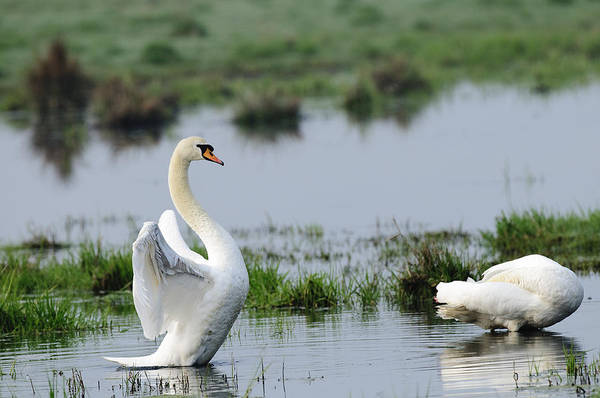 Hessen Photograph - Mute Swans by Andy-Kim Moeller