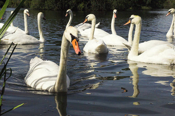 Cygnus Photograph - Mute Swans by Duncan Shaw/science Photo Library