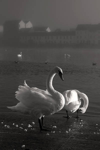 Photograph - Mute Swans Galway Ireland by Pierre Leclerc Photography