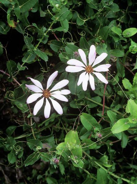 Climbing Plants Photograph - Mutisia Flowers (mutisia Ilicifolia) by Geoff Kidd/science Photo Library