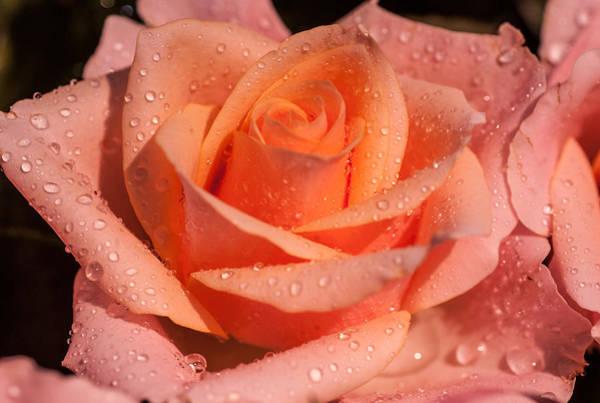 Rainbow Rose Wall Art - Photograph - My Birthday Rose by Jenny Rainbow