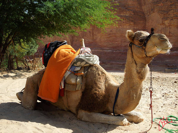 Photograph - My Camel Friend Bou Bou Almost Ready For The Daily Desert Walk by Colette V Hera  Guggenheim