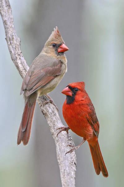 Female Cardinal Photograph - My Cardinal Neighbors by Bonnie Barry