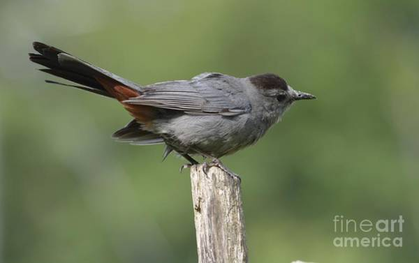 Photograph - My Catbird by Randy Bodkins