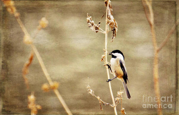 Photograph - My Little Chickadee by Pam  Holdsworth