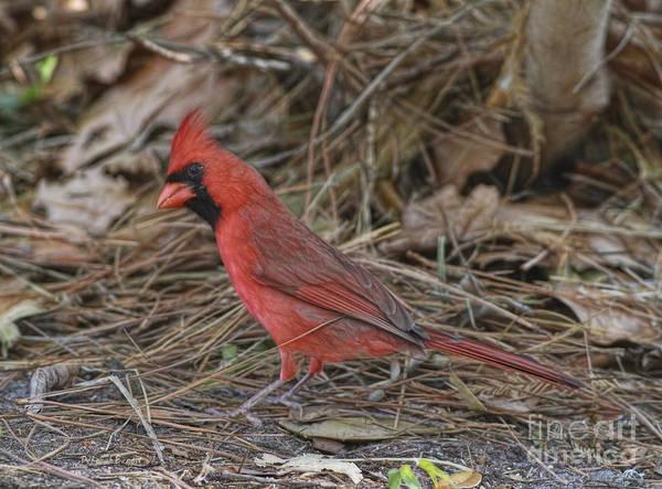 Pine Grosbeak Photograph - My Name Is Red by Deborah Benoit