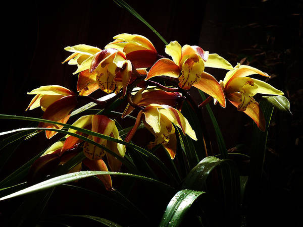 Photograph - My Orchid 1 by Xueling Zou