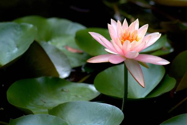 Photograph - My Pink Water Lily by Carol Montoya