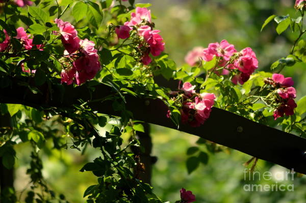 Photograph - My Rose Garden by Susanne Van Hulst