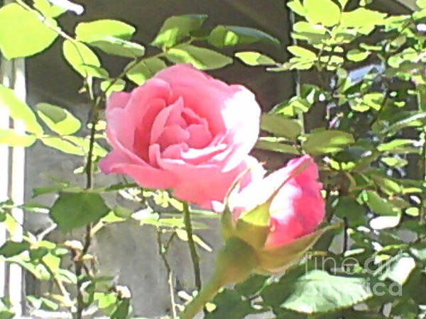 Photograph - My Roses by Catherine Lott