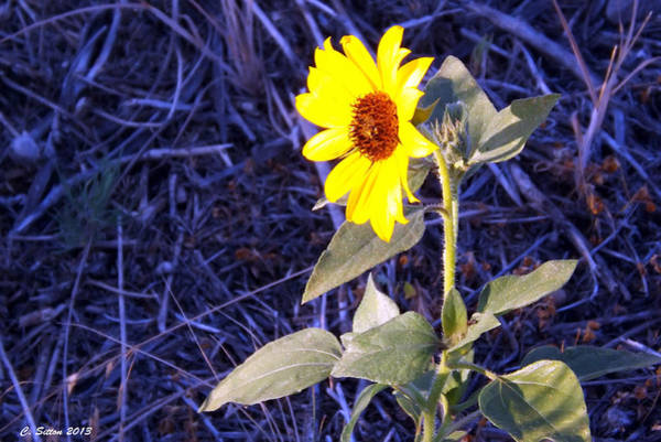 Photograph - My Sunshine by C Sitton