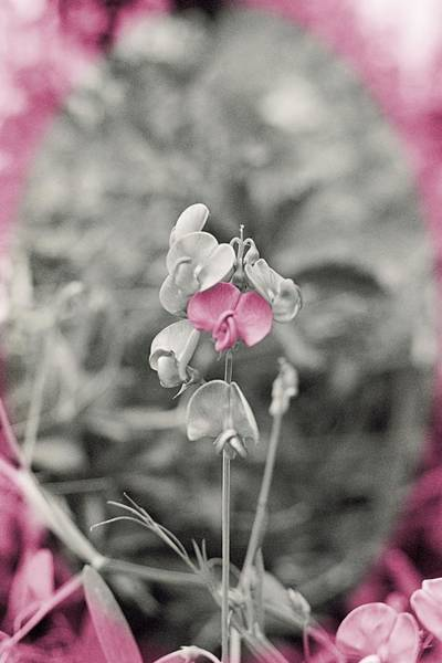 Photograph - My Sweet Pea by HW Kateley