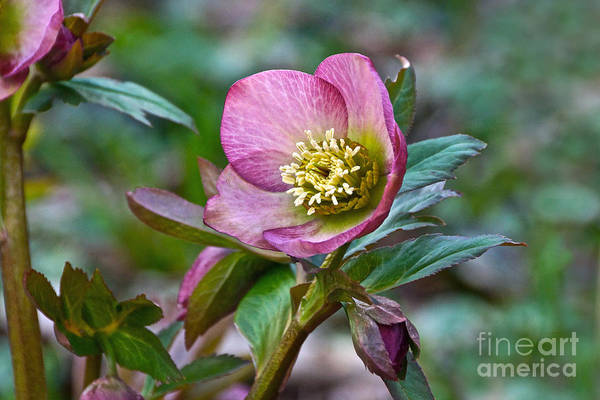 Photograph - My Wild Xmas Rose by Byron Varvarigos
