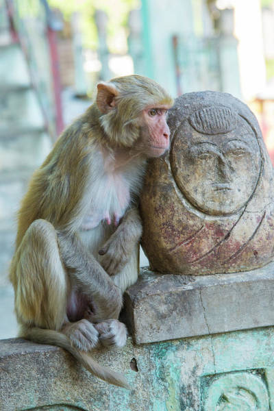 Burma Photograph - Myanmar Mt Popa Rhesus Macaque Resting by Inger Hogstrom