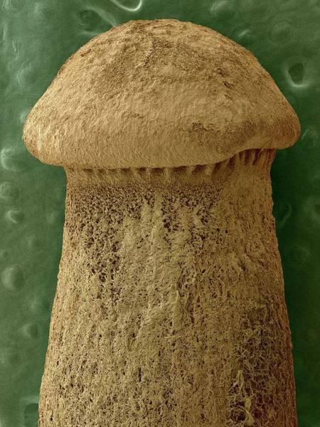 Saprophytic Wall Art - Photograph - Mycorrhizal Fungus by Dennis Kunkel Microscopy/science Photo Library
