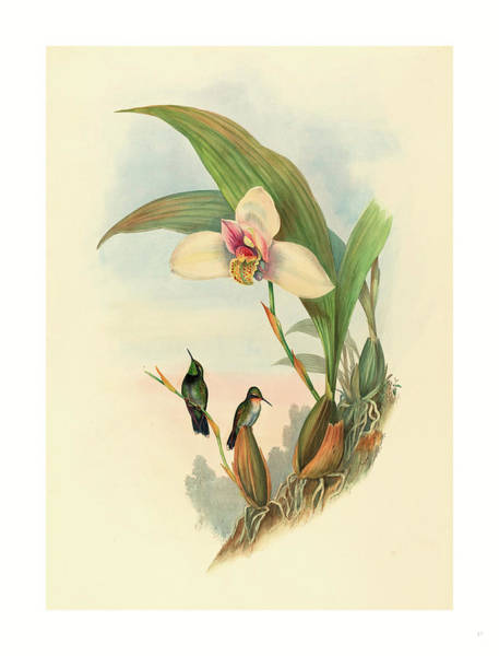 Wall Art - Drawing - Myiabeillia Typica Abeilles Hummingbird by John Gould (1804-1881) And Henry Constantine Richter (1821?1902), English