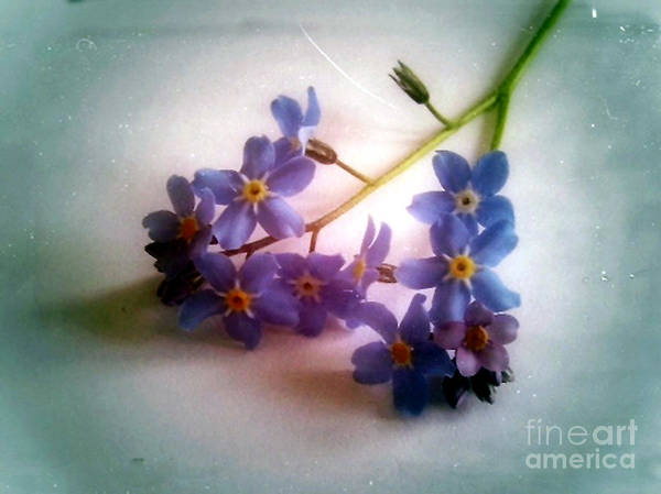 Photograph - Myosotis  Forget Me Not by Vix Edwards