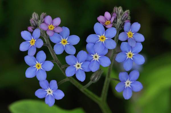 Forget Me Not Photograph - Myosotis Scorpioides Flowers by Colin Varndell