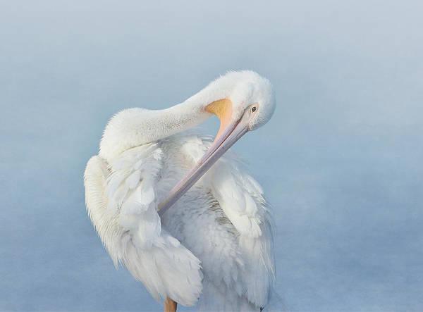 American White Pelican Wall Art - Photograph - Mystic Morning by Fraida Gutovich