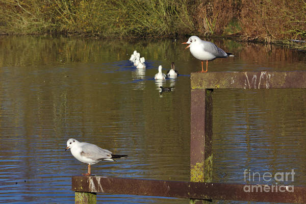 Photograph - Nagging Gull by Jeremy Hayden