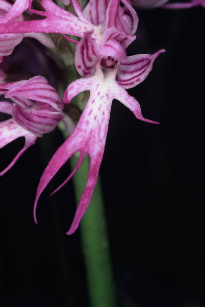 Orchis Photograph - Naked Man Orchid Flower by Paul Harcourt Davies/science Photo Library