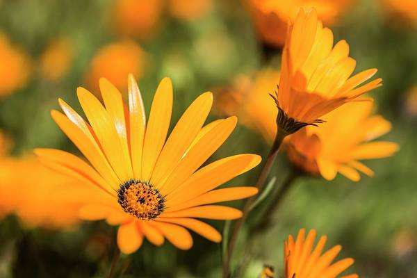 African Daisies Photograph - Namaqua Daisy Flower by Peter Chadwick/science Photo Library