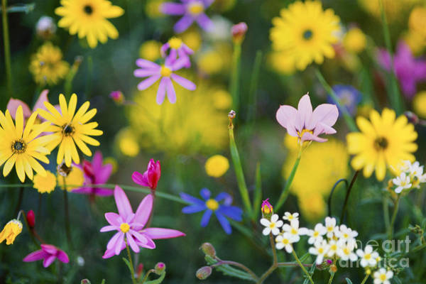 Photograph - Namaqualand Wildflowers by Frans Lanting MINT Images