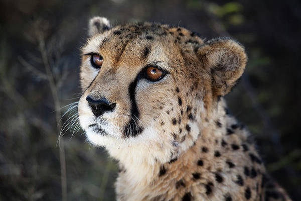 Black Cats Photograph - Namibia Close-up Of A Cheetah by Janet Muir