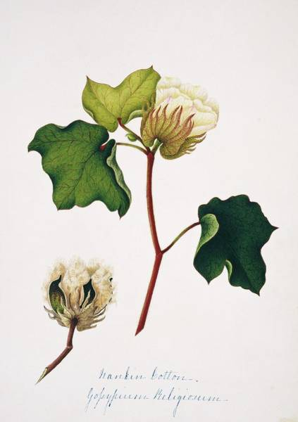 Cotton Photograph - Nankeen Cotton Flowers And Boll by Natural History Museum, London/science Photo Library