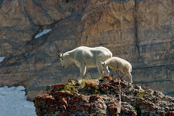 Goat Rocks Wilderness Wall Art - Photograph - Nanny Mountain Goat And Kid, Oreamnos by Howie Garber