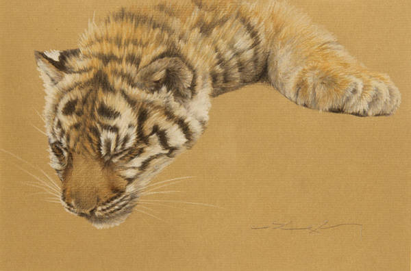 Bengal Tiger Drawing - Nap Time by Clare Shaughnessy