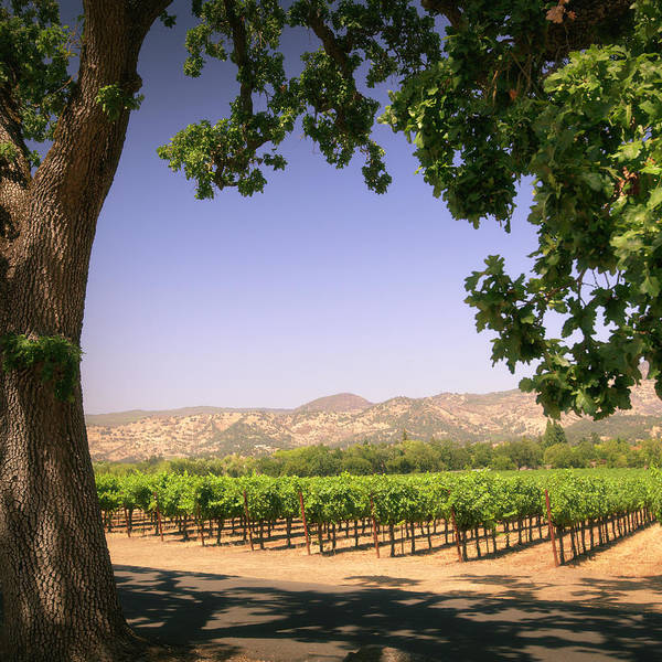 Cultivate Photograph - Napa Valley Vineyard by Lordrunar