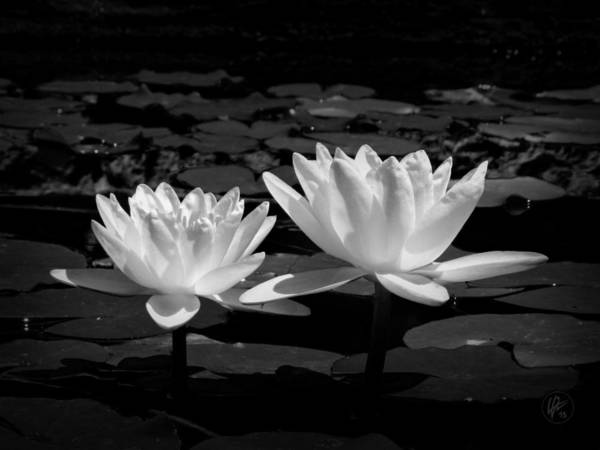 Photograph - Napa Water Lilies 001 by Lance Vaughn