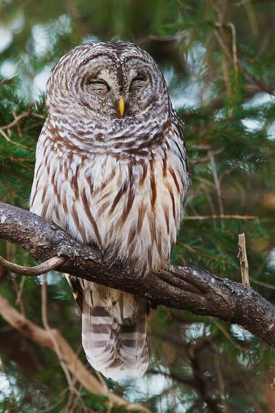 Napping Barred Owl Art Print