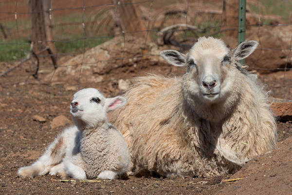 Ovine Photograph - Napping Sheep by Kathleen Bishop