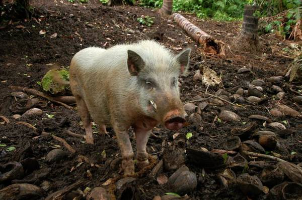 Traits Photograph - Narave Pig by Thierry Berrod, Mona Lisa Production/ Science Photo Library