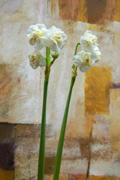 Photograph - Narcissus And Artwork by Lutz Baar