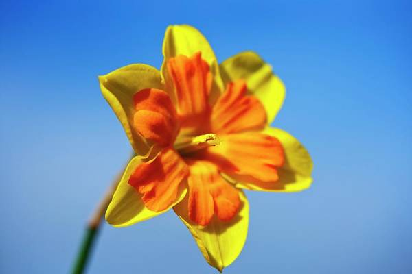 Carpel Photograph - Narcissus 'gillan' Daffodil by Ian Gowland/science Photo Library